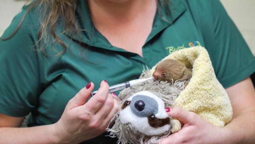 These Two Baby Sloths Are Melting Hearts On Internet