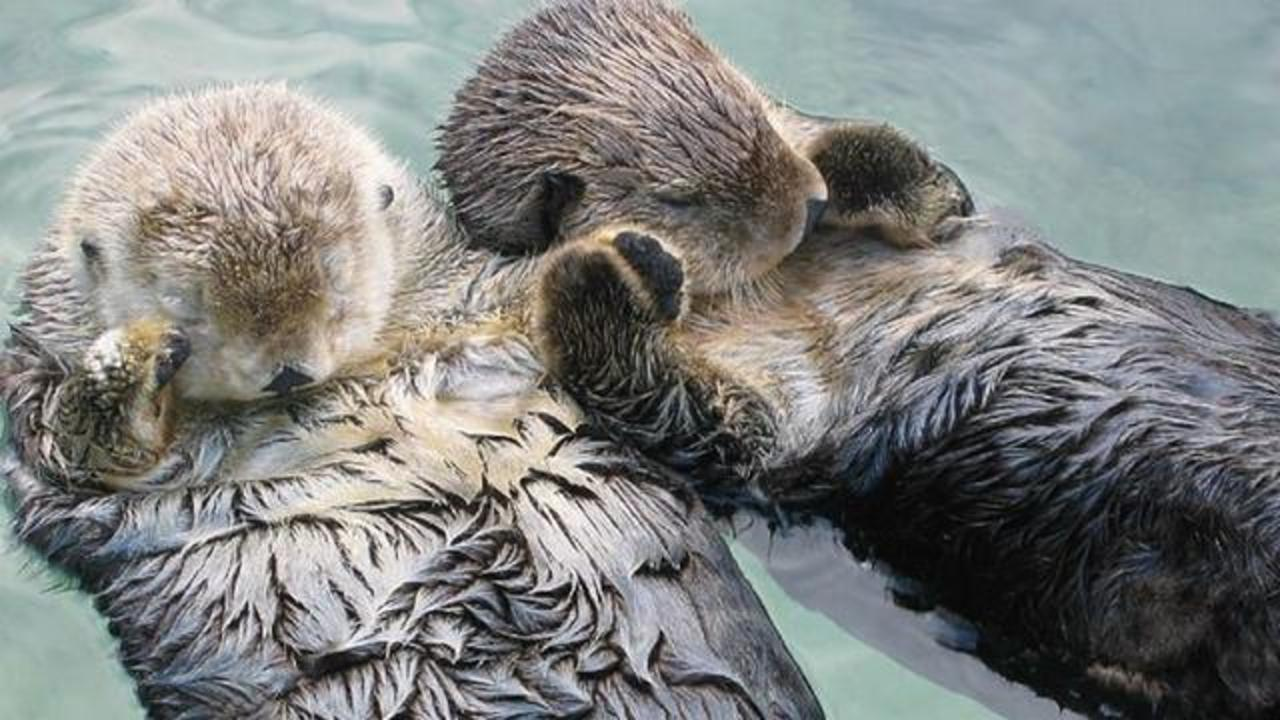 Heartwarming Reason Why Sea Otters Hold Hands