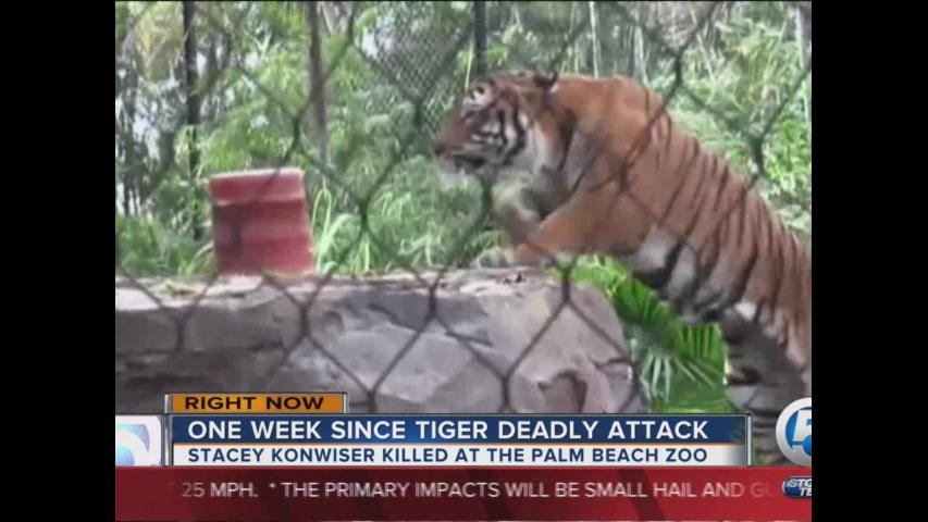 One week since tiger deadly attack