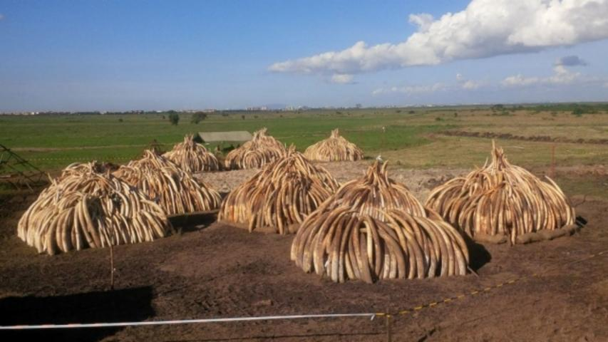 Kenya Says Its Plan to Burn 105 Tons of Ivory Will Protect Elephants