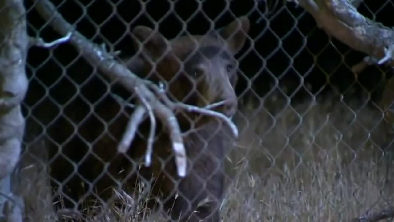 Bear on the Run in California