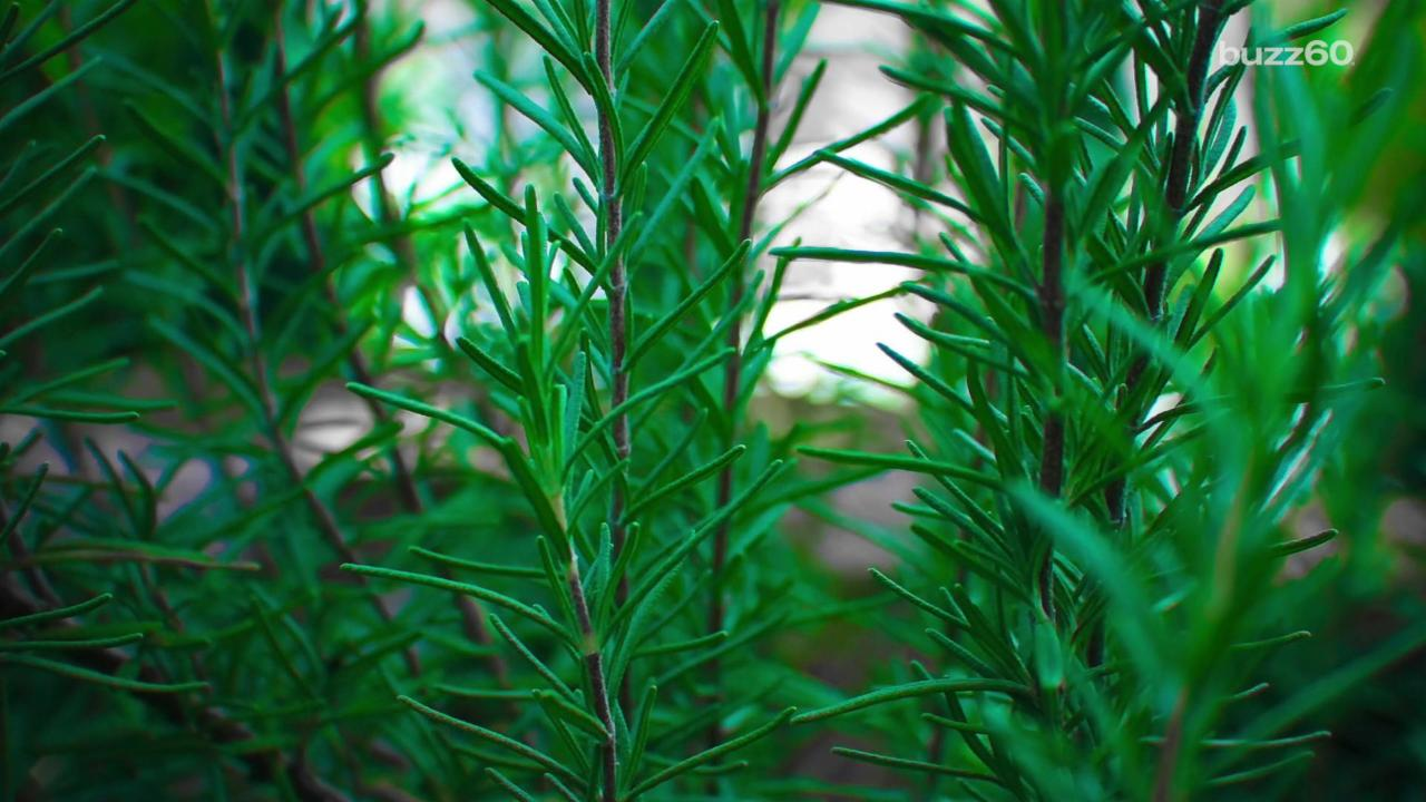 Reach for the Rosemary, Scientists Say it Improves Memory