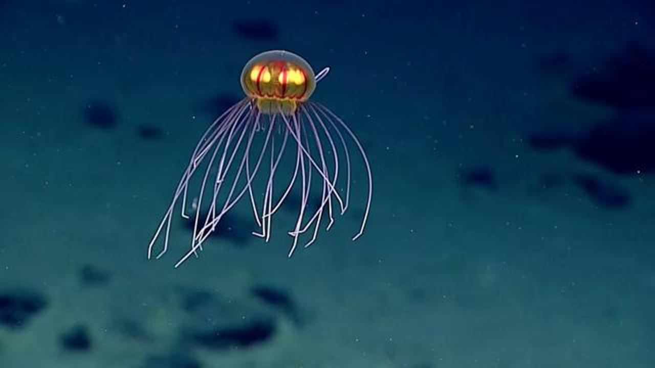 A Bizarre Looking Jellyfish Was Captured On Video During Deep Sea Mission
