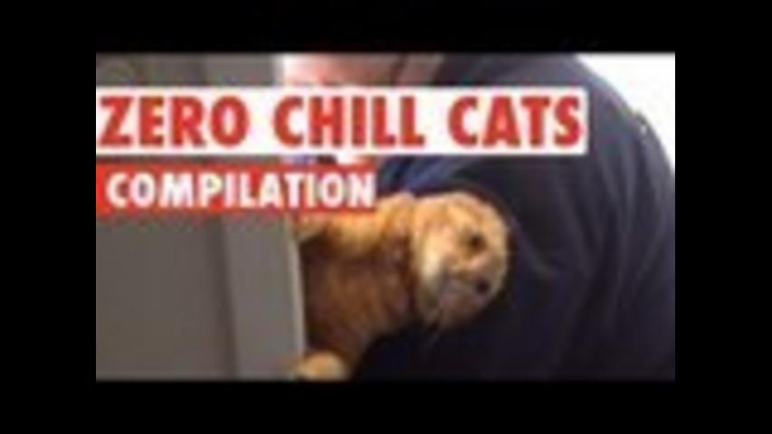 Funny Cats With Zero Chill Pet Compilation