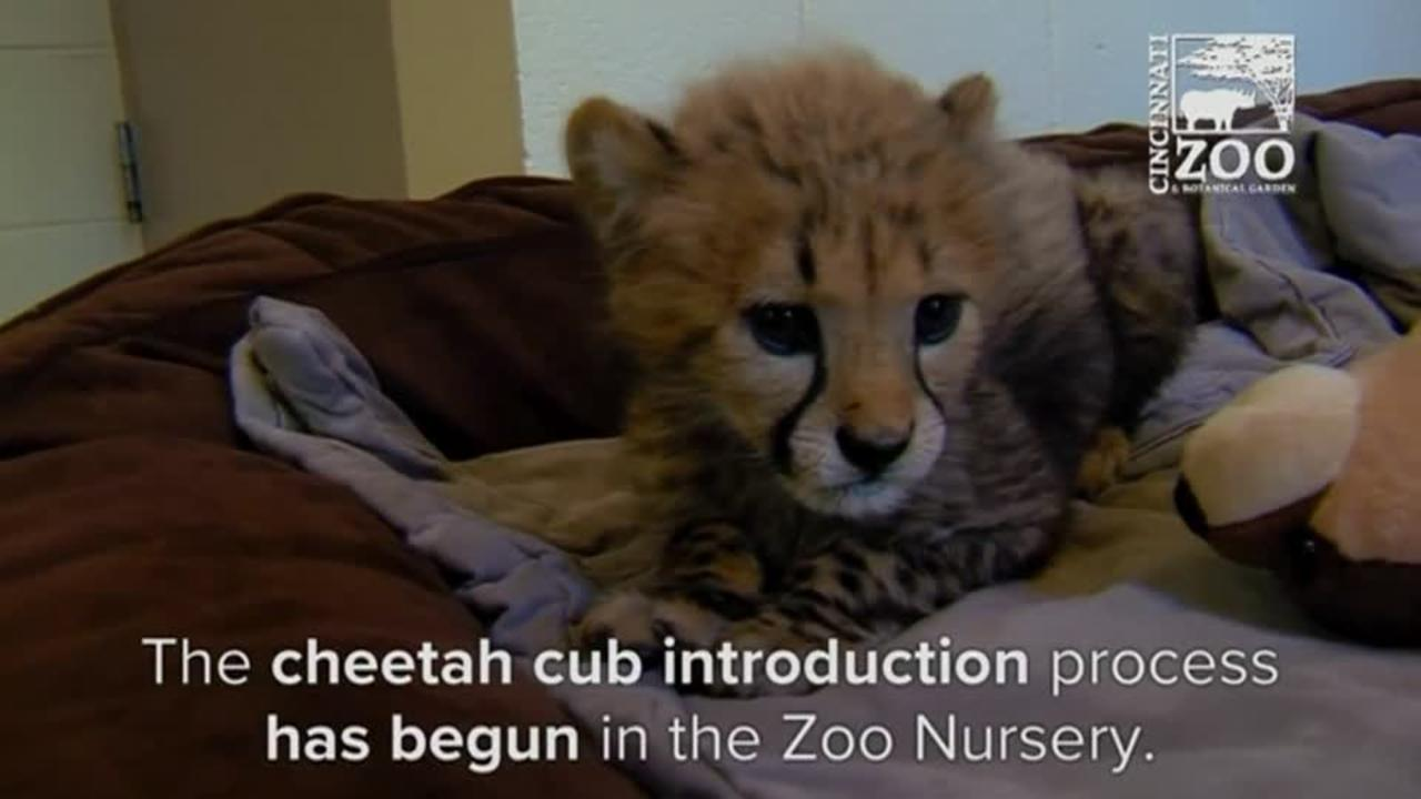 Premature cheetah cubs get first playdate with older cub and dog at Cincinnati Zoo