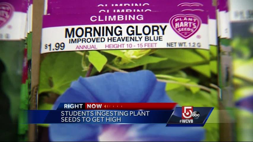 Massachusetts students ingesting plant seeds to get high