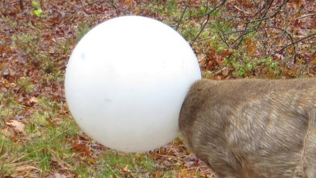 Deer With Head Stuck In Light Globe Freed By Conservation Officer