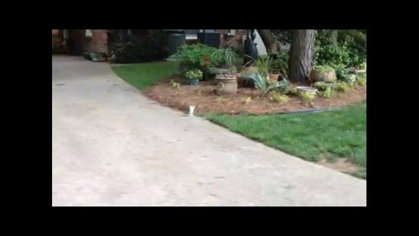 Clever Squirrel With Two Legs Does Handstand to Get Around