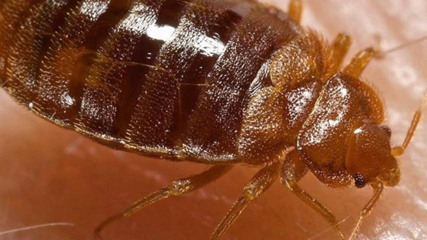 Outrage After Woman Deliberately Releases Bedbugs Into Wild Due To Her Buddhist Principles