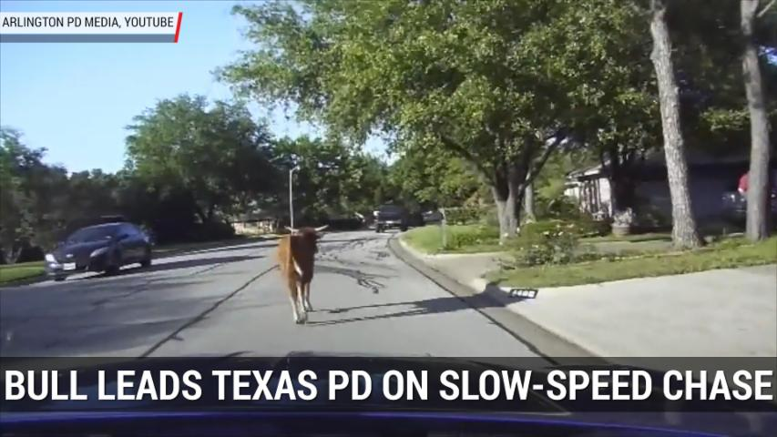 Bull Leads Police On Slow Speed Chase Through North Texas | Autoblog Minute