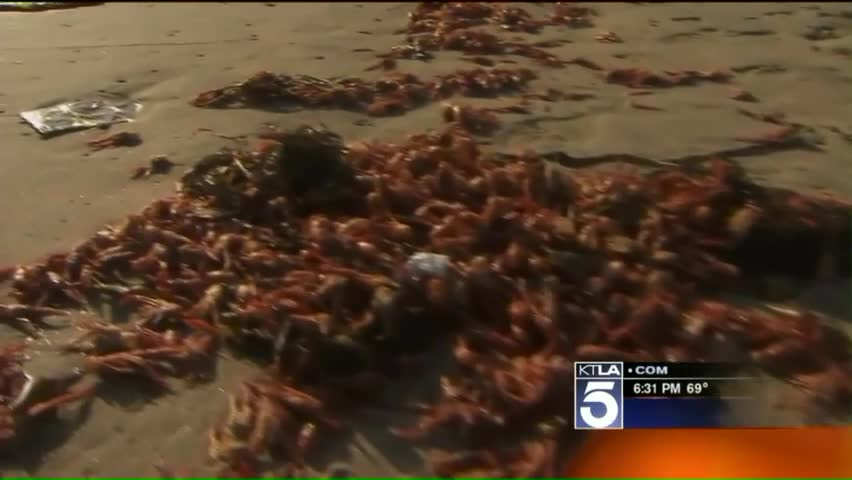 Hordes of Red Crabs Wash Ashore On Southern California Beach