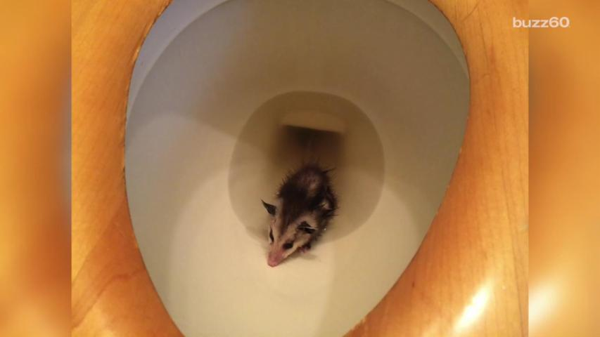 Woman Finds an Opossum in Her Toilet