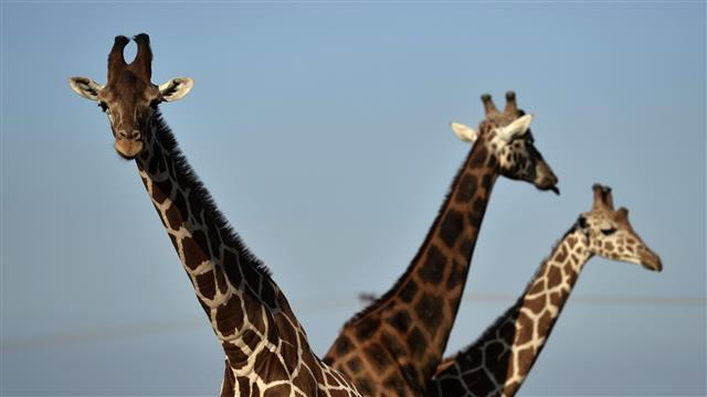 Scientists Solve Mystery of Giraffe's Long Neck
