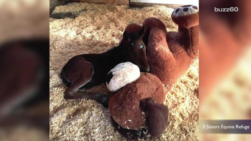 Orphaned Baby Horse Snuggles With Big Stuffed Dog