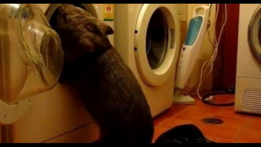 Curious Wombat Does the Laundry