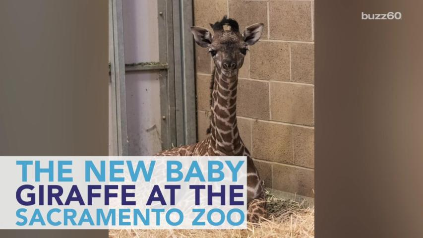Baby Giraffe Stays With His Mama During Zoo Debut