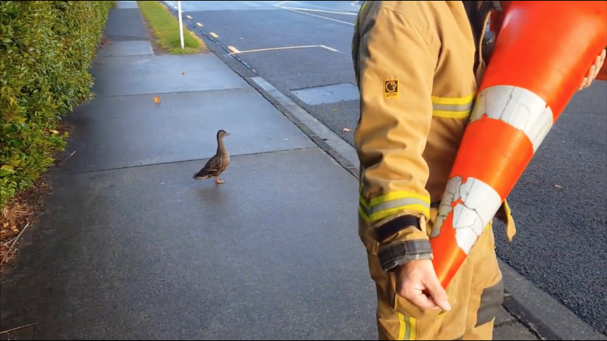 Firefighters Rescue Ducklings as an Anxious Mother Duck Watches