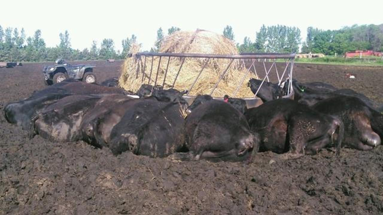 Single Bolt Of Lightning Kills 21 Cows Huddled Around Metal Feeder