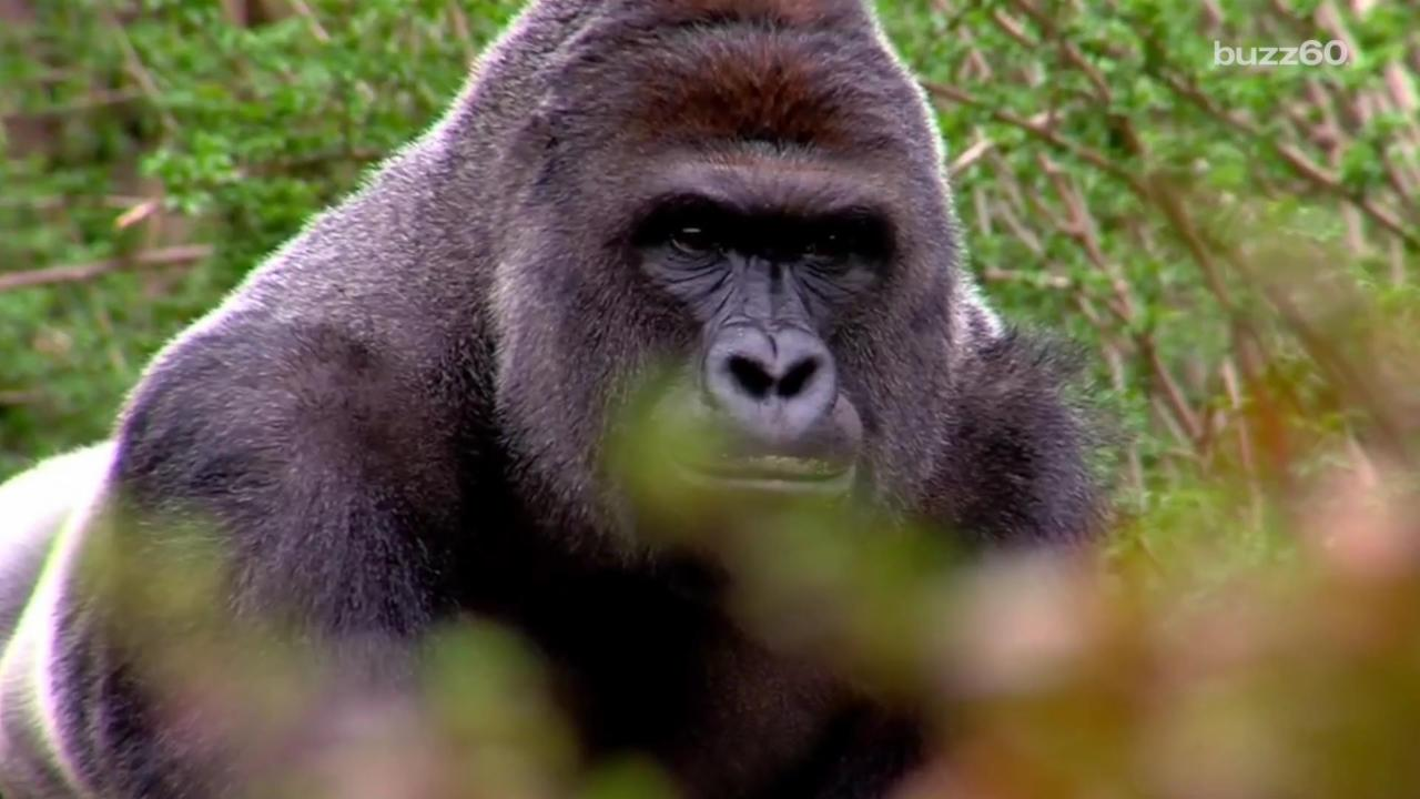 Science Has Plans For Gorilla Harambe's Remains