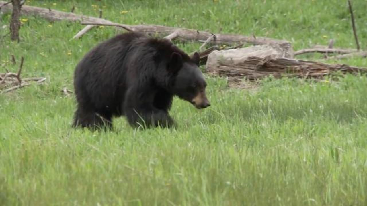 Woman Claims Getting Licked By Bear While Listening To Music And Doing Yoga