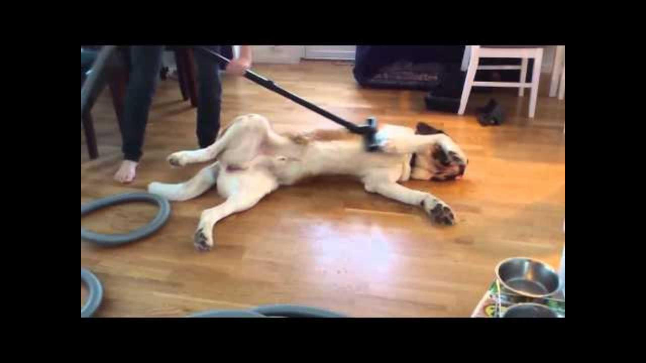 Saint Bernard Cleaned with Vacuum