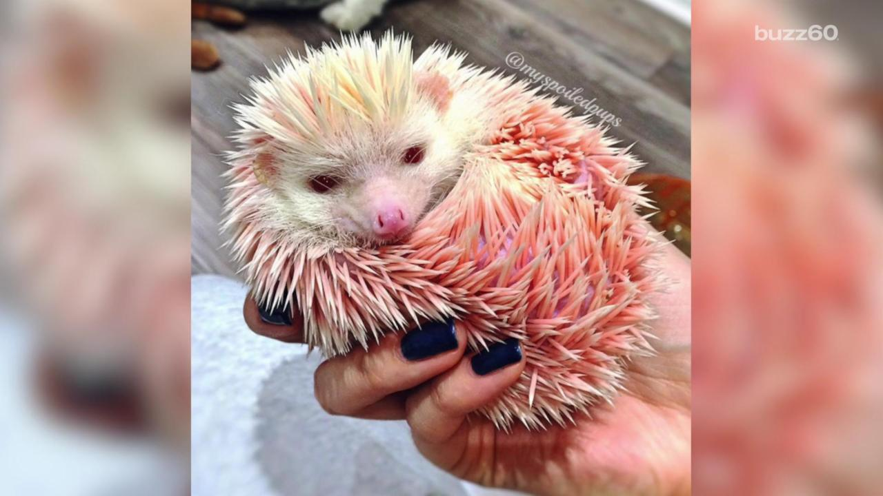 Rescued Pink Hedgehog Bonds with Dog Siblings
