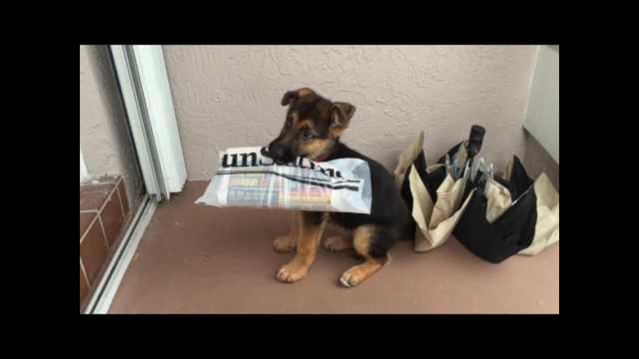 Puppy Whines About Delivering Newspaper
