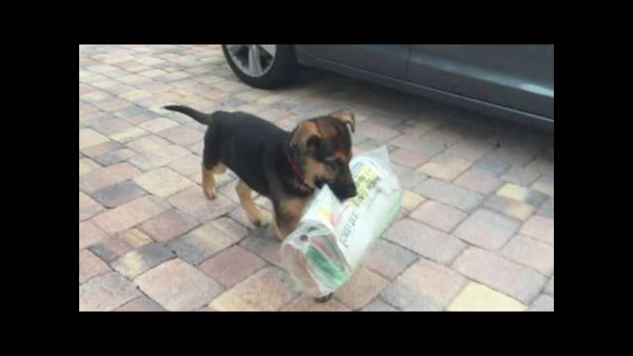 Puppy Struggles to Deliver Paper