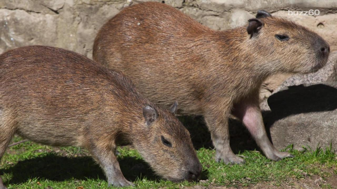 Two Capybara Are On The Lam From Toronto Zoo