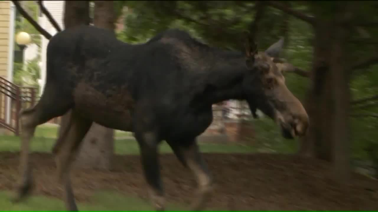 Moose Spotted on University of Utah Campus