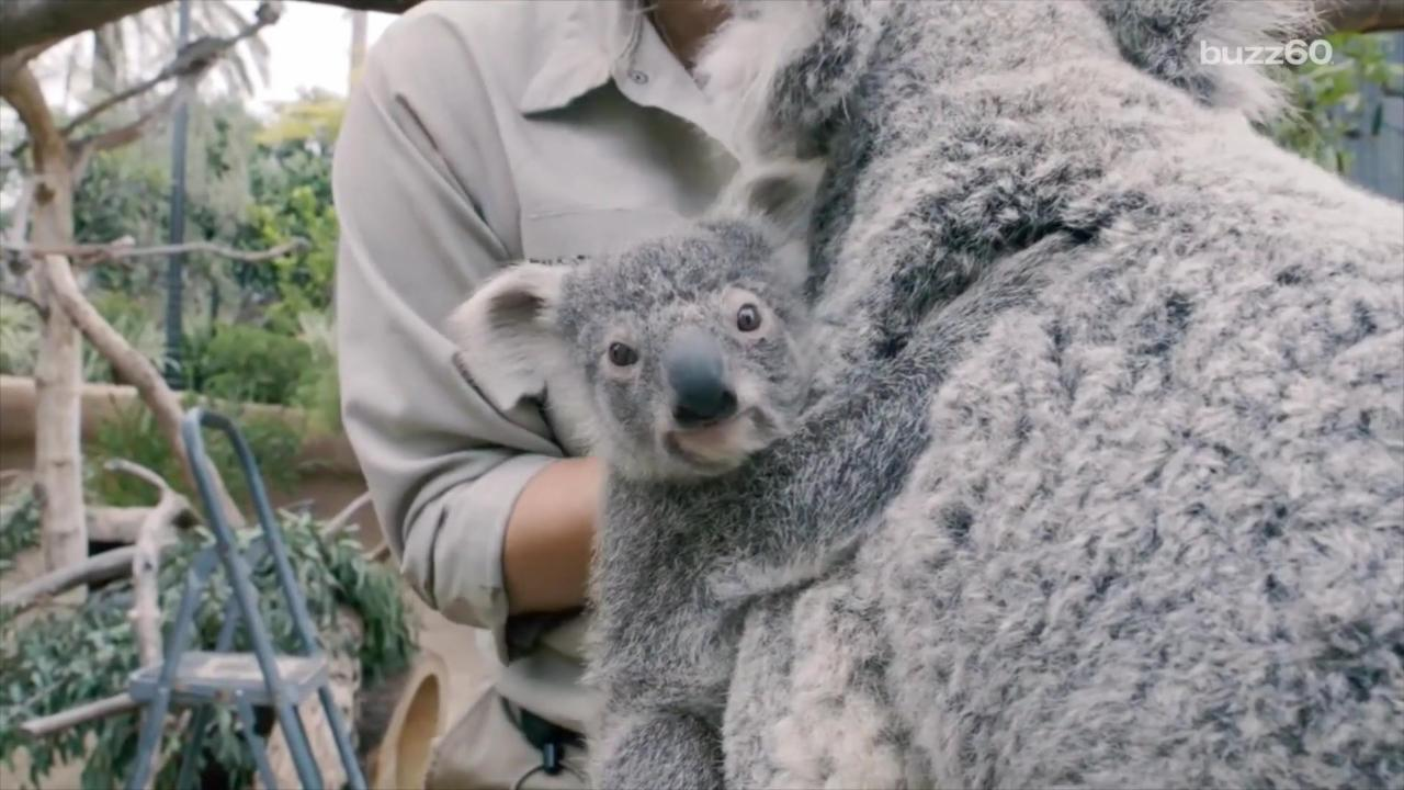 Cuteness Overload: Baby Koala Emerges From Mother's Pouch