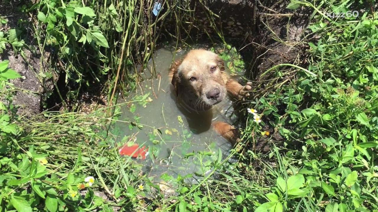 Dog Rescued From Muddy Sewer, Instantly Adopted by Cop Who Saved Him