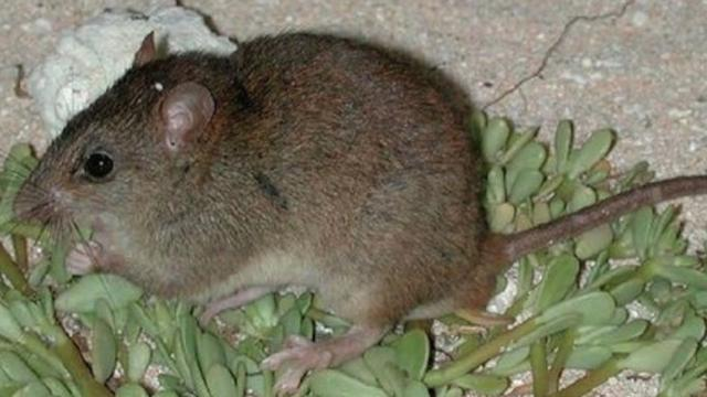 Australian Rodent Becomes First Known Mammal Extinction Due To Climate Change