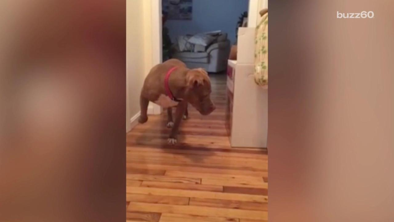 Muscular Pit Bull Tiptoes Around Cat in Funny Video