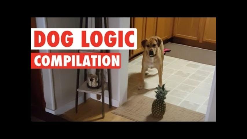 Image of: 2017 Funny Dog Logic Pet Video Compilation 2016 Aol Funny Dog Logic Video Compilation Aol