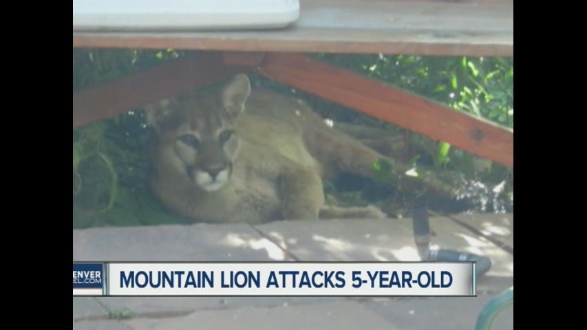 Mountain lions attack child