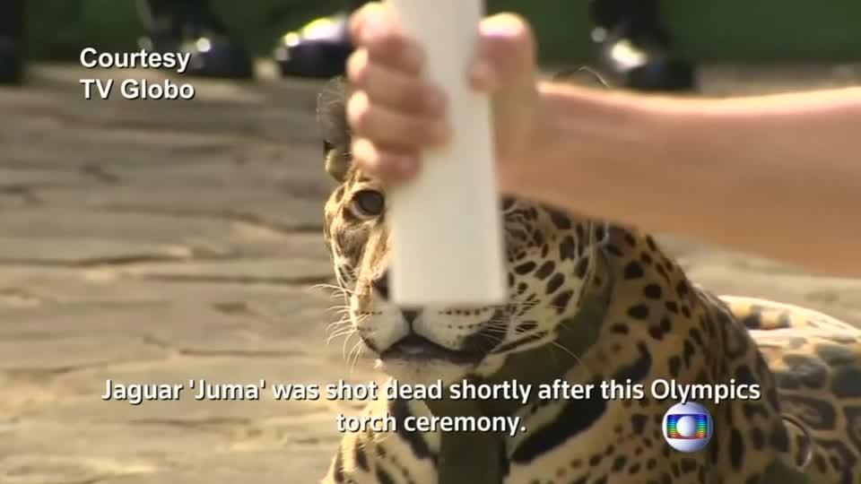 Jaguar in Brazil Olympic Ceremony Shot Dead