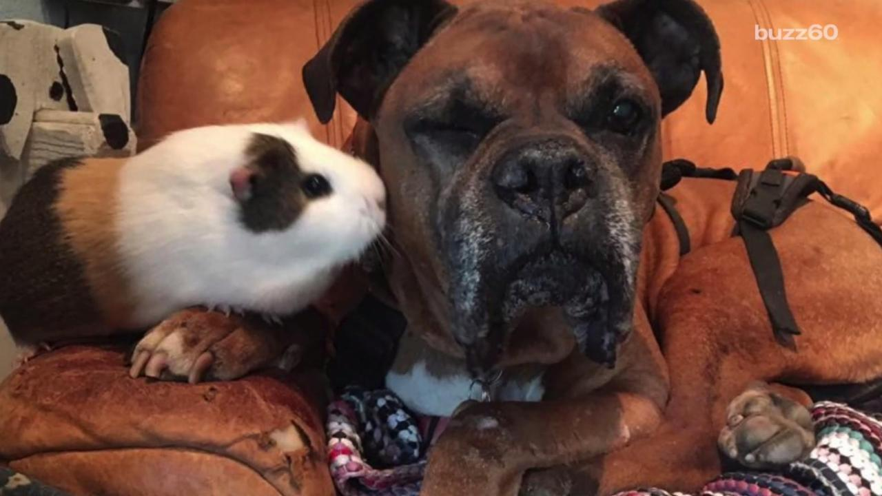 Unlikely Friendship Forms Between Wheelchair Bound Dog and Guinea Pig