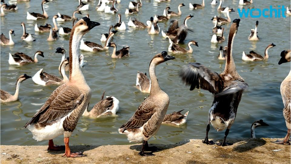 Which City Plans To Turn Its Goose Problem Into A Food Solution?