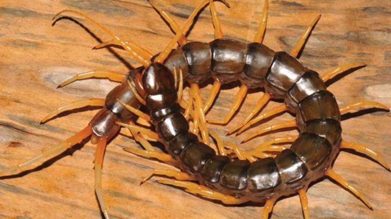 Newly Discovered Species Of 'Horrific-Looking' Giant Centipede Will Give You Nightmares