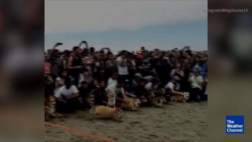 Dogs Hit the Beach for Corgi Con
