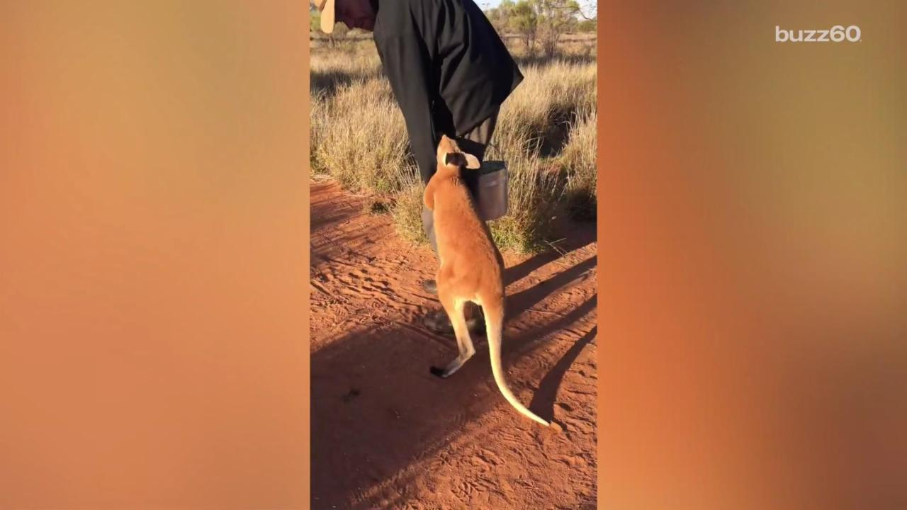 Emotional Kangaroo Orphan Clings To His Rescuer