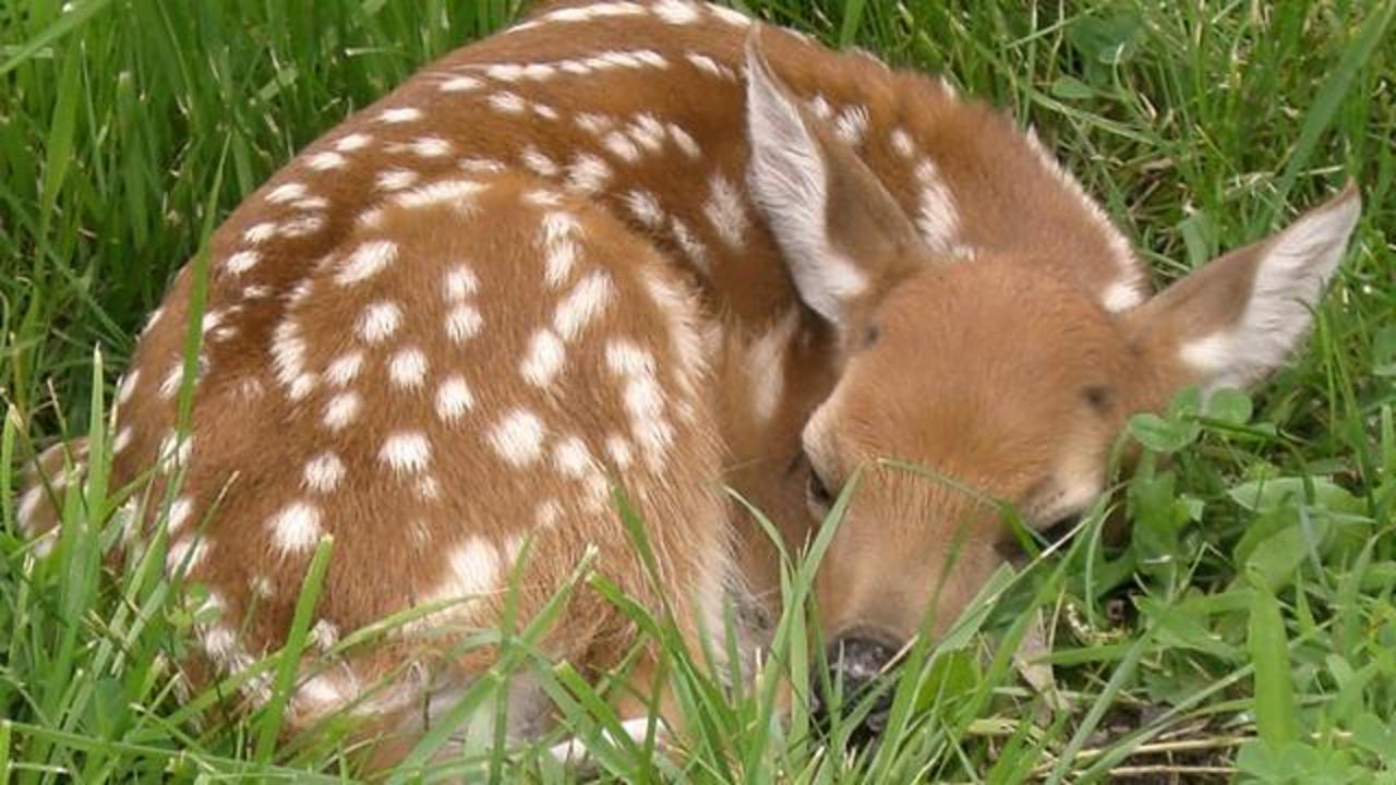 Fawn Euthanized After Well-Intentioned People Plucked It From Colorado Forest
