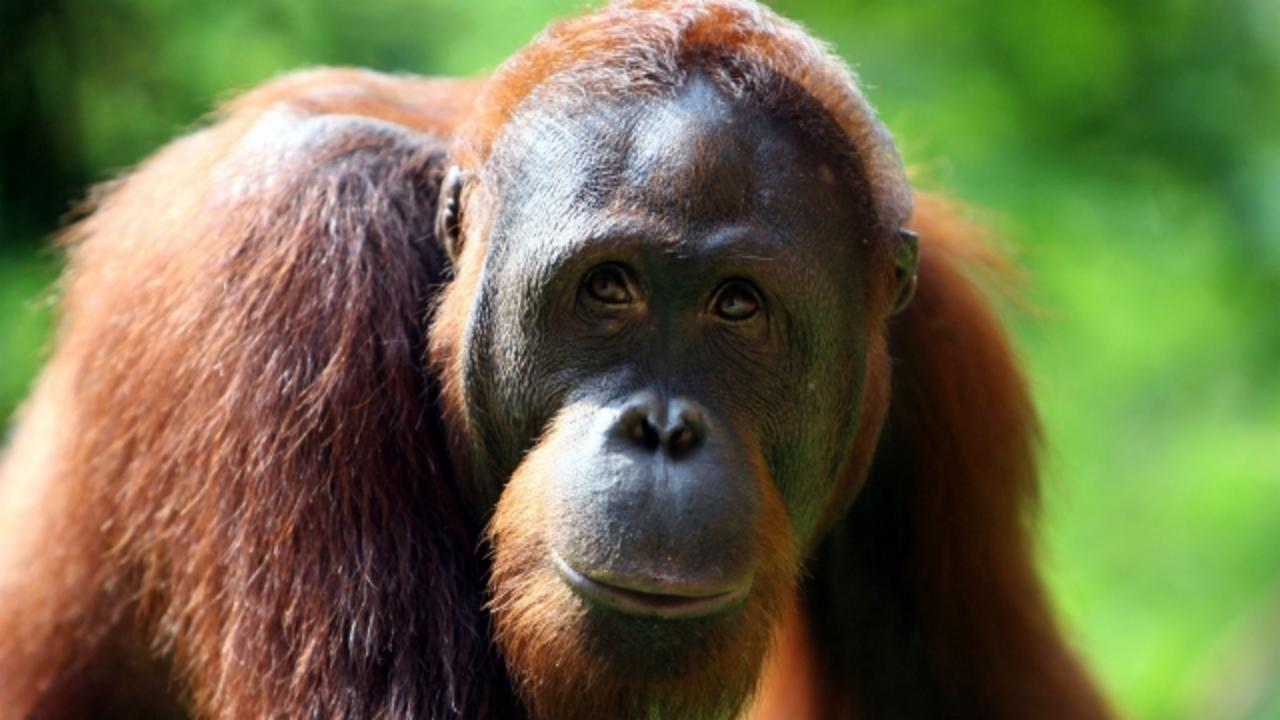 Can We Save Orangutans From Extinction?