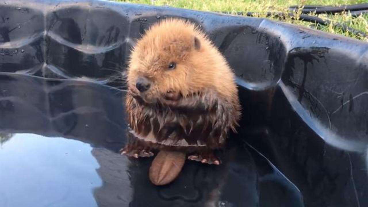Abandoned Baby Beaver Enjoying Pool Time Wins Internet