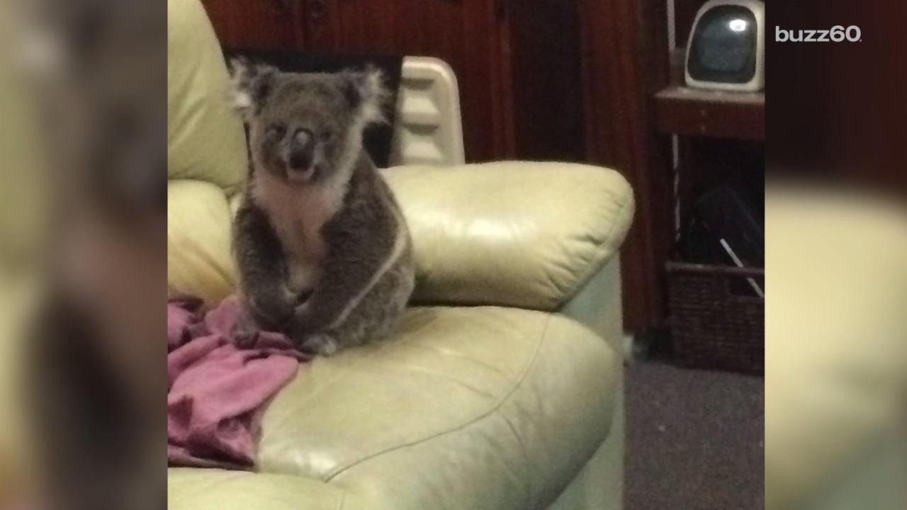 Cutest Intruder Ever? Couple Comes Home to Koala on Couch