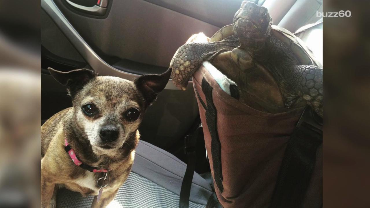 Rescued Tortoise and Chihuahua Don't Go Anywhere Apart