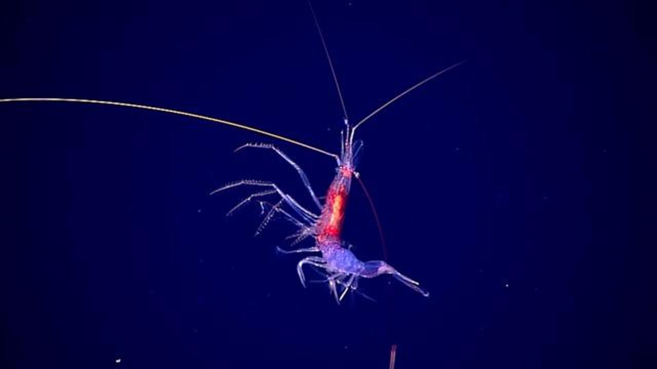 Deep Sea Explorers Encounter Shrimp With 'Chopstick' Antennae