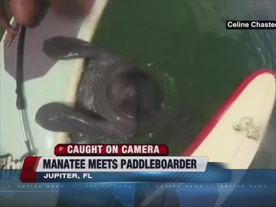 Manatees pay a visit to Florida paddleboarders