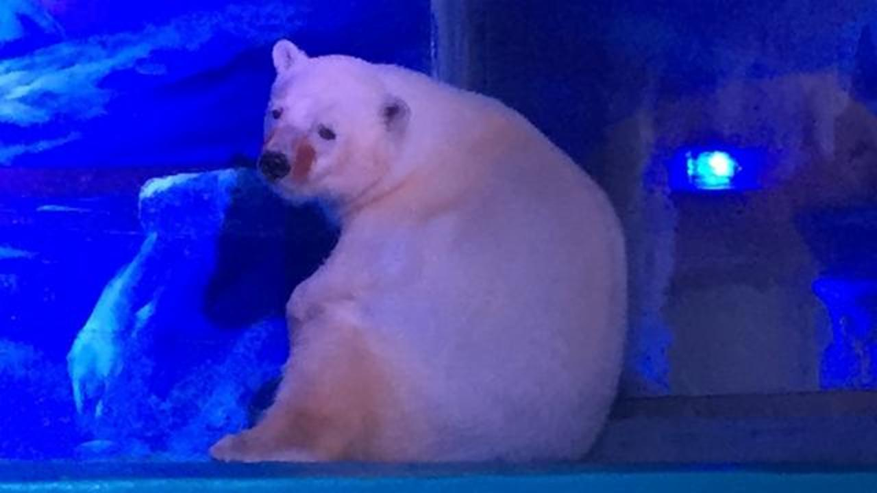 Polar Bear Used For Selfies At 'World's Saddest Zoo' In Chinese Mall
